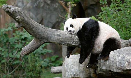 Giant panda taking a nap