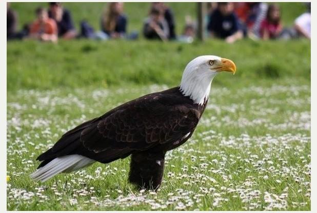 Helga the bald eagle is back home